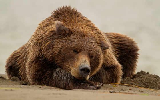 медведь, медведи, sleeping, браун, большой, бурые,