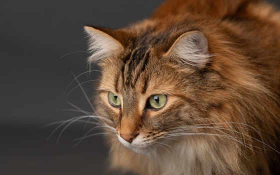 кот, фон, морда