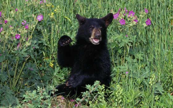 медведь, black, детёныш