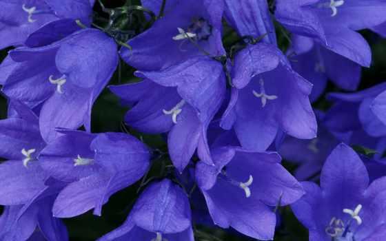 колокольчики, синие, цветы, яркие,