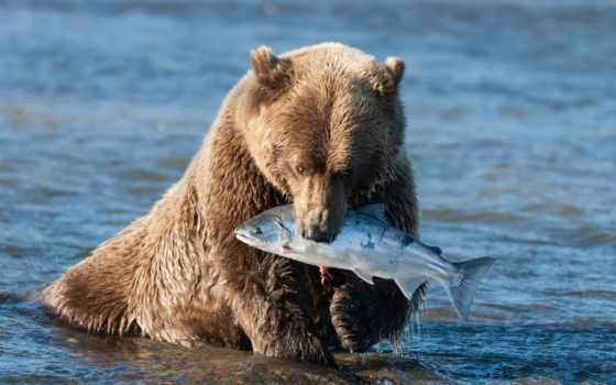 salmon, медведь, water, браун, catch, мишка, аляска,