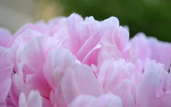 розовый, пион, цветы, пион,