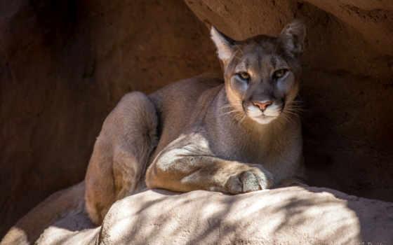cougar, desktop, фон, animal, free,
