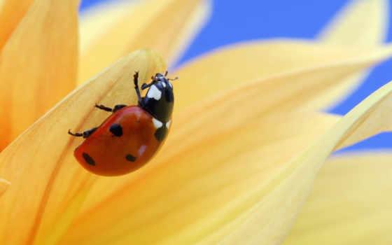 природа, заставки, клубная, sul, fiore, coccinella, красивые, мебель,