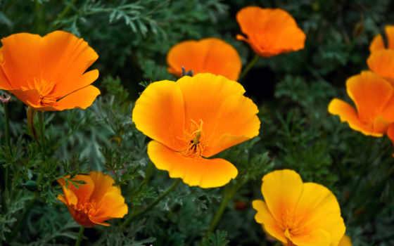 цветы, скачать, flowers, orange,
