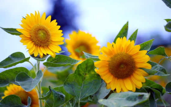 sunflowers, подсолнухи
