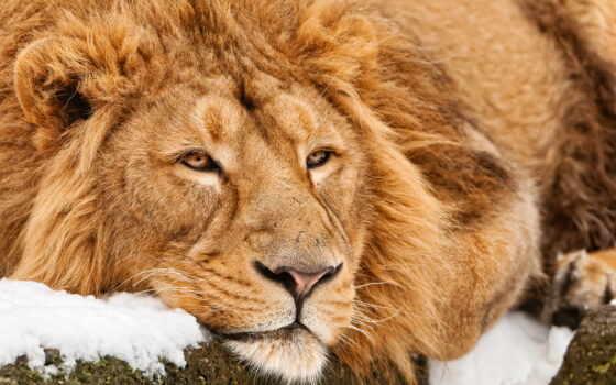 lion, лежит, молодой