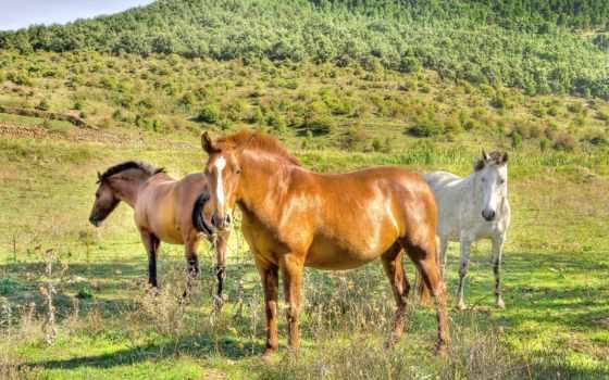 лошади, лошадь, поле