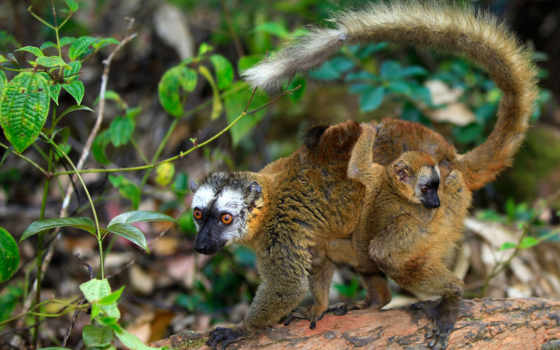 zhivotnye, share, коала