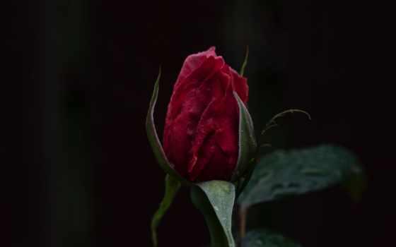 pinterest, роза, dark, находите, ноутбук, планшетный, pin, mobile, телефон, пины,