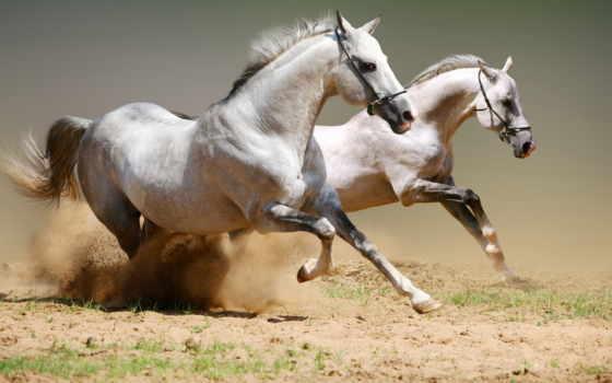 лошадь, пыль, бег, белый