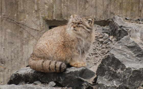 манул, кот, хищник, wild