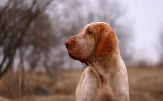 собака, взгляд Фон № 27482 разрешение 1920x1200
