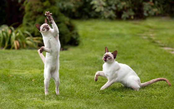 играют, коты, кошки, трава, когти, лапы, mouse, пара, газон,
