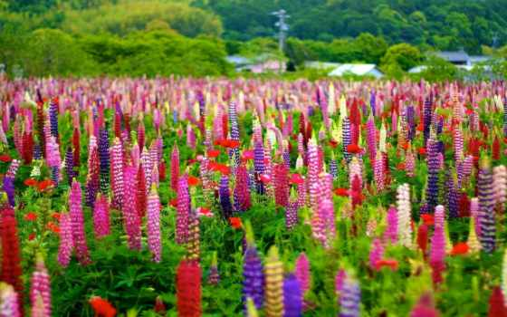 lupine, flowers, bokeh, луг, lupinus, free, трава, colorful,