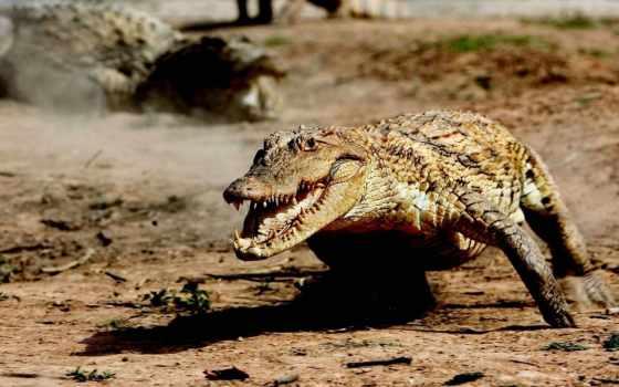 крокодил, крокодилы, бежит, нильский, большой, крокодила, мире, views, крокодилов, top,