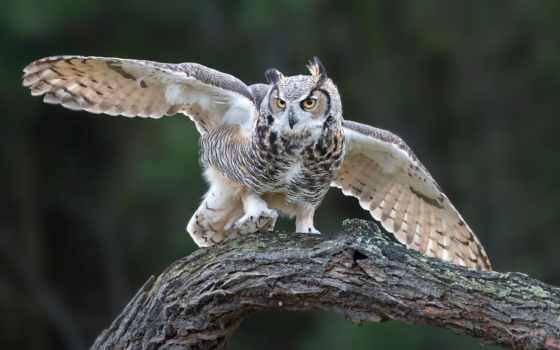 сова, орлан, eurasian, птица, крылья, филин,
