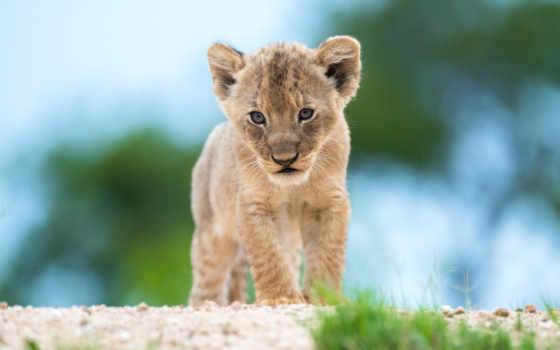 lion, diamond, virat, world, cricket, kohlus, детёныш, small, wild, кот