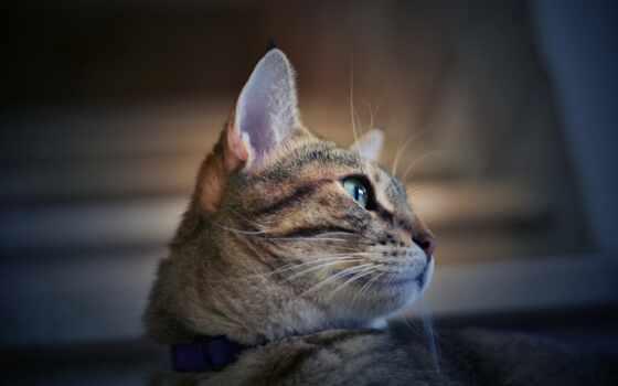 кот, ошейник, ли, ди, portrait, kuce, public, pixabay, gratis, pet, ан