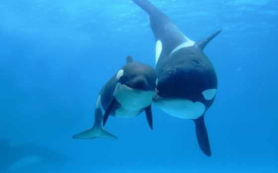 касатки, мама, orca, ребёнок, пятна, океан, двое, картинка, wallpaper, ballena, love, whale, картинку, and, wallpapers, whales, ocean, sea, подборка, animals,