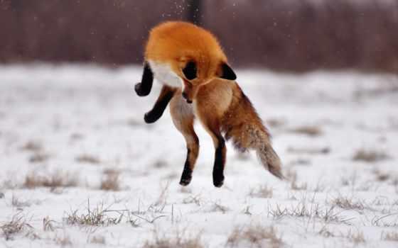 фокс, огонь, снег