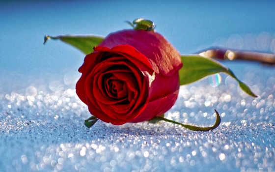 роза, снег, flowers, red, фон, desktop, high,