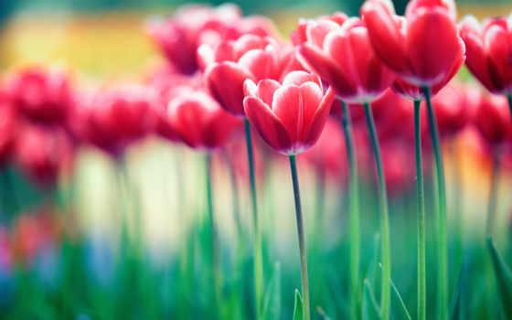 cvety, природа, тюльпан, тюльпаны, flowers, red,