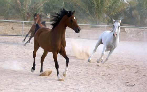 арабский, stallion, кому, делаю, лошади, нечто, фотожаба, хочу, февр,