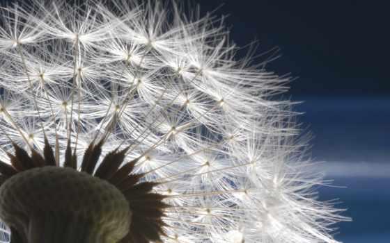 цветы, dmuchawiec, одуванчик, tapety, pulpit, одуванчики, web, мб, lepszą,