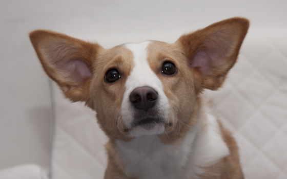 пес взгляд, уши