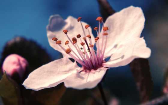 cherry, картинка, cvety, цветы, лепестки, весна, макро, цветка, Сакура, slaida, девушка,