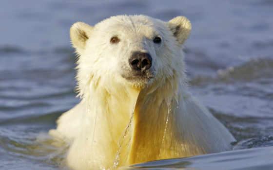 медведь, magnets, polar, bears, water, animals, swim, изображение, глаза,