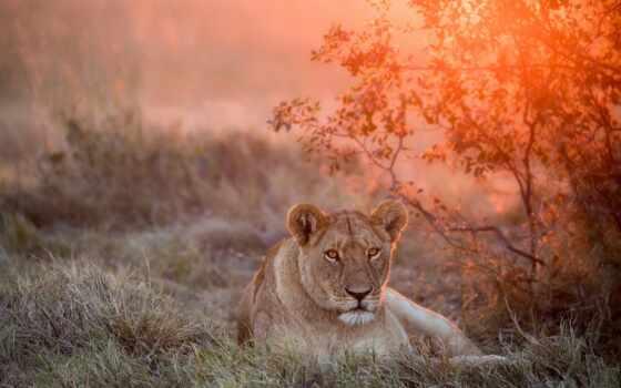 природа, wild, кот, львица, морда, animal, lion, хищник, взгляд