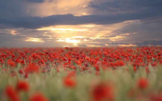 poppies, цветы, природа, poppy, размытость, полем, над, маки, закат, рассвет, очень, full, puzzle, download, вечер, маками, view, поле, красные,
