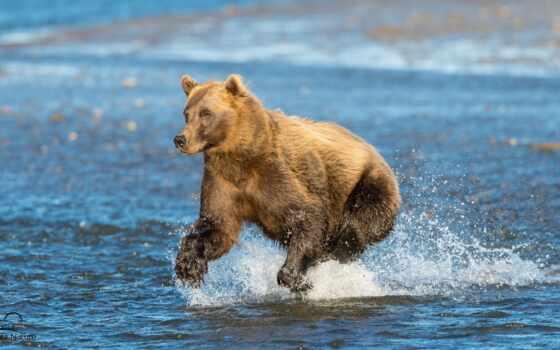 животные, run, медведи