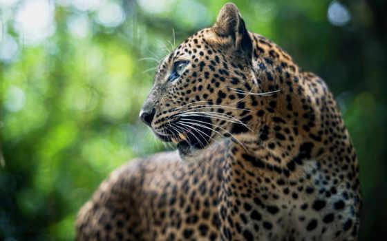 леопард в природе