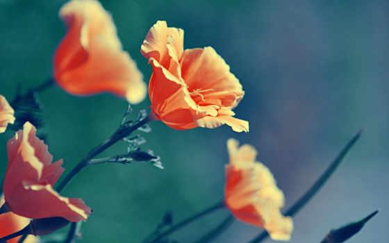 природа, цветы, растения, макро, маки, color, оранжевые,