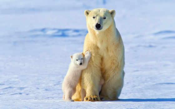 ursa, белые, медведи, белая, малыш, свет, winter, снег,