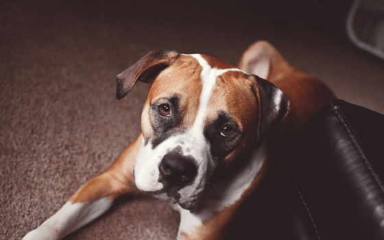 собака, you, what, купить, boxer, стоит, боксера, собаки,