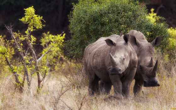 rhino, носорог, full