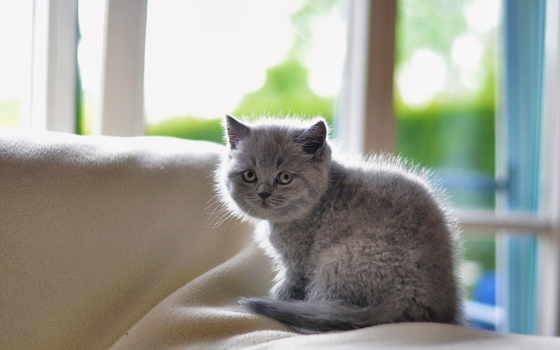 котенок, серый, заставки, пушистый, породы, окно, квартира, кошки, милые, котята, кот,