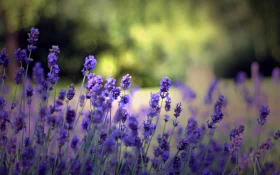 lavender, целикомв, свой