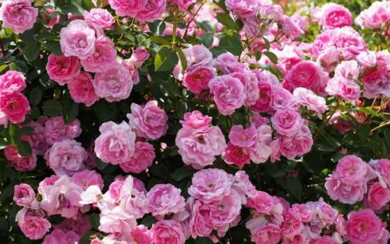 розы, куст, розовый
