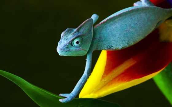 chameleon, добавить, избранные