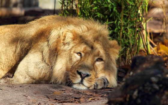 дек, lion, хищник
