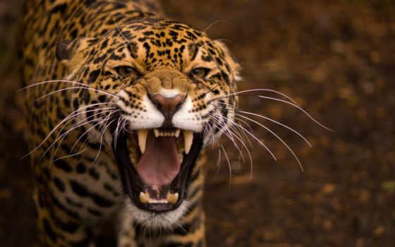 jaguar, злой, февр