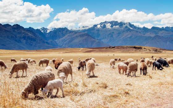peru, sheep, поля