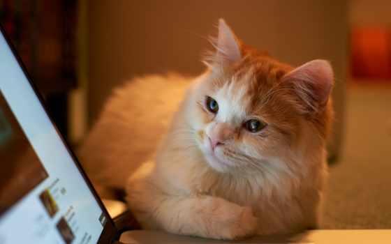 кот, смотрит, ноутбука, ноутбук, экран, кошки, котенок, серый,