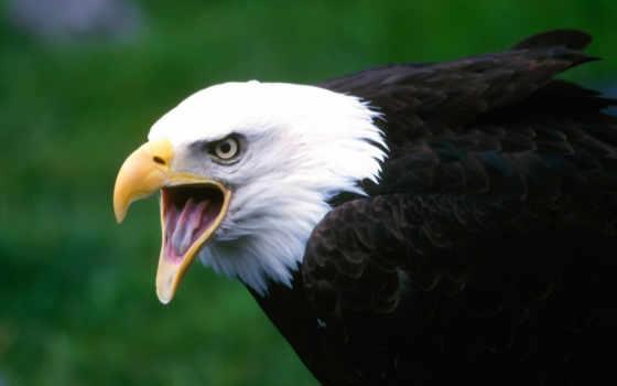 орла, орлан, птицы, орлов, zhivotnye, морда, фотоохота, густым, покрыты,