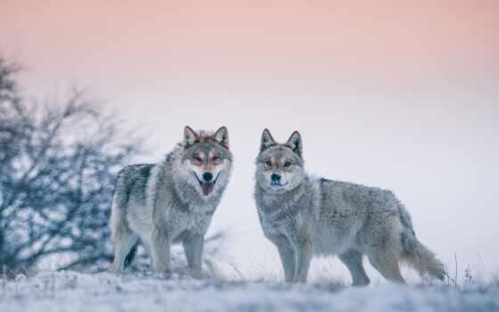 волк, side, winter, drawing, птица, golubit, красивый, animal, снег, хороший